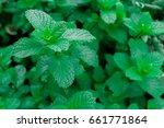 fresh green pepper mint grow... | Shutterstock . vector #661771864