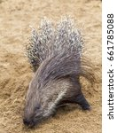porcupine foraging for food | Shutterstock . vector #661785088
