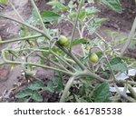 tomato bushes. | Shutterstock . vector #661785538