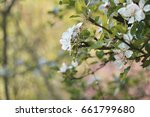 white blossom on the tree close ... | Shutterstock . vector #661799680