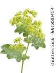 Small photo of Alchemilla flowers isolated on white