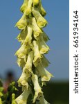 Small photo of Aconitum lycoctonum in blossom