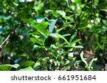lemon tree | Shutterstock . vector #661951684