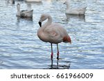 Lonely Chilean Flamingo ...