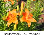 The Flowers Are Orange Lilies...