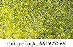 birch betula dalecarlica leaves ... | Shutterstock . vector #661979269