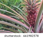 bromeliad  a plant that... | Shutterstock . vector #661982578