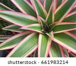 bromeliad  a plant that... | Shutterstock . vector #661983214