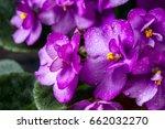flowering saintpaulias ... | Shutterstock . vector #662032270