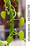 plant growing up with a support ... | Shutterstock . vector #662036758