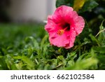 Hibiscus Pink Flowers On The...