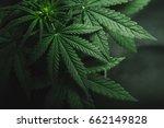 Marijuana Leaves  Cannabis On ...