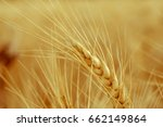 wheat ears close up on a... | Shutterstock . vector #662149864