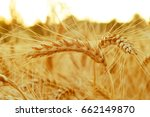 gold ears of wheat close up on... | Shutterstock . vector #662149870