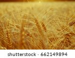 golden ears of wheat close up... | Shutterstock . vector #662149894