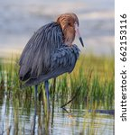 Reddish Egret With Bright Red...