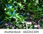 lemon tree | Shutterstock . vector #662261104