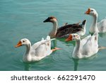 Four Geese Floating  Happily I...