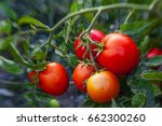 Ripe Garden Tomatoes Ready For...