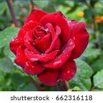 red rose with water drops on... | Shutterstock . vector #662316118