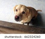 Old dog labrador retriever looking like use the sad eye appeal to his owner.- Selective focus on eye dog.