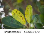 Small photo of Yellow and green leaves with brown spot