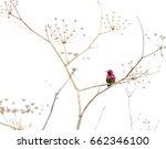 hummingbird standing on a dry... | Shutterstock . vector #662346100