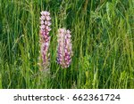 field of wild lupinus  commonly ...   Shutterstock . vector #662361724