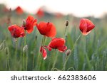 Red Poppies Grow On Wheat Lawn. ...