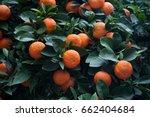 Small photo of Bitter orange tree (Citrus aurantium) in Cordoba, Andalusia, Spain.