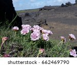 Small photo of ameria maritima and iceland nature