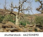 Small photo of Baobab (Adansonia gibosa) in the Dogon Land, Mali