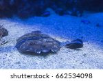 Small photo of sole, Solea, in the sand close up