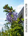 Small photo of African lily (Agapanthus) flowers in bloom on the summer sky