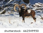 big european moufflon in the...   Shutterstock . vector #662549950