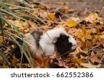 Black and white Guniea pig in Autumn leaves