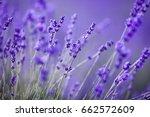 lavender field   Shutterstock . vector #662572609