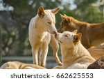close up of a pack of dingo...   Shutterstock . vector #662625553