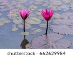 water lilly blooming in pond. | Shutterstock . vector #662629984