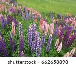 beautiful colorful blooming... | Shutterstock . vector #662658898