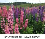 beautiful colorful blooming... | Shutterstock . vector #662658904