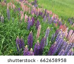 beautiful colorful blooming... | Shutterstock . vector #662658958