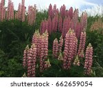 beautiful colorful blooming... | Shutterstock . vector #662659054