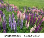 beautiful colorful blooming... | Shutterstock . vector #662659210