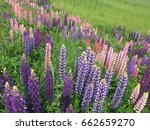 beautiful colorful blooming... | Shutterstock . vector #662659270
