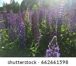lupine  lupin. a plant of the...   Shutterstock . vector #662661598