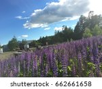 lupine  lupin. a plant of the...   Shutterstock . vector #662661658