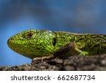 reptile shot close up.nimble...   Shutterstock . vector #662687734