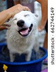 Stock photo white smiling dog having a bath with hands patting on the head happiness concept 662744149