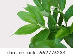 green leaves isolated on white... | Shutterstock . vector #662776234